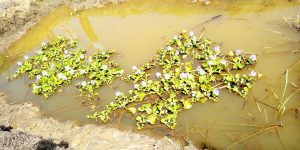CREEC WATER HYACINTH RESEARCH TAKES SHAPE